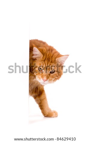 Cat behind white banner, maine coon - stock photo