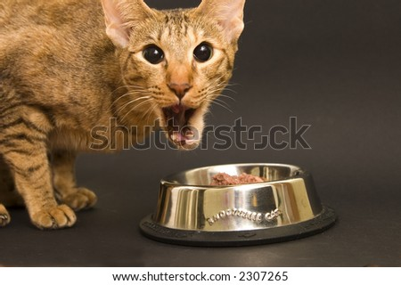 Cat being emotional while eating cat food - stock photo