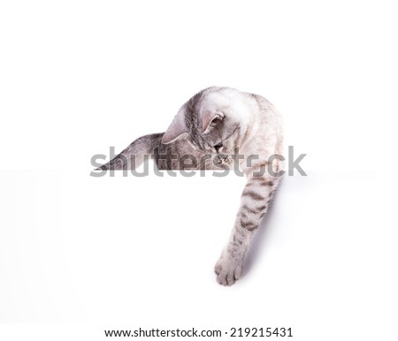 cat blank poster isolated on white background - stock photo