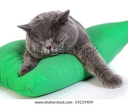 Cat (blue british) isolated on white background - stock photo
