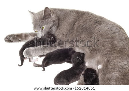 Cat breastfeeding kittens licking one of them - stock photo