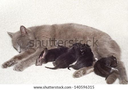 Cat breastfeeds kittens - stock photo
