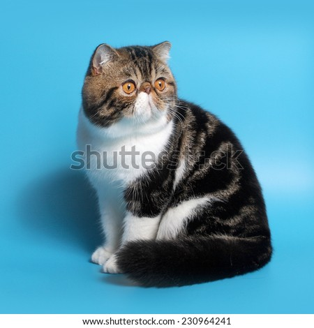 cat breed exotic short hair, bicolor � on blue background with shadow - stock photo