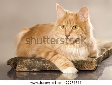 cat  (breed - kurilian bobtail) a grey background - stock photo