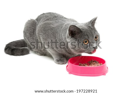 cat (breed Scottish Straight) eating food from a bowl on a white background close-up. horizontal photo. - stock photo