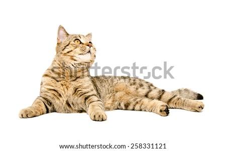 Cat breed Scottish Straight looking up lying isolated on white background  - stock photo