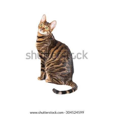 Cat breed toyger isolated on white background - stock photo