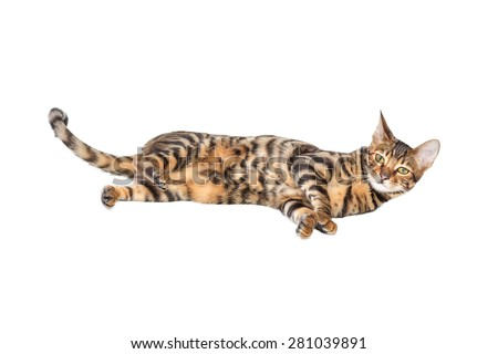 Cat breed toyger lying on white background, isolated. Toy tiger.