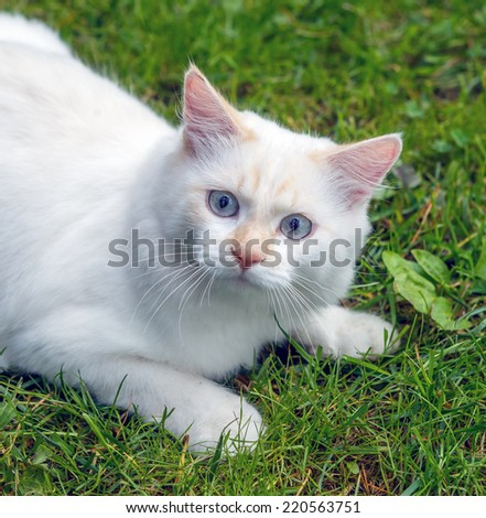 Cat breed Turkish Van (Vankedisi) or Turkish Angora