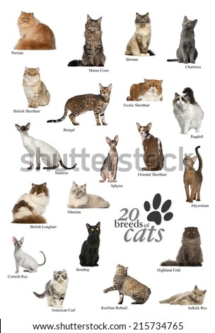 Cat breeds poster in English - stock photo