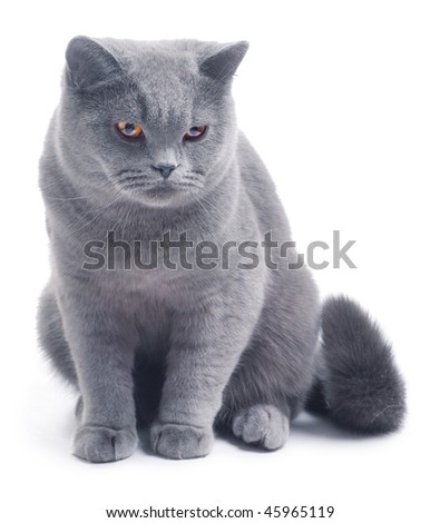 Cat (british blue) on white background