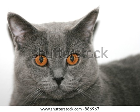 Cat, British Blue Shorthair
