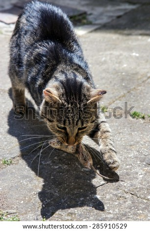 cat carries a mouse in mouth