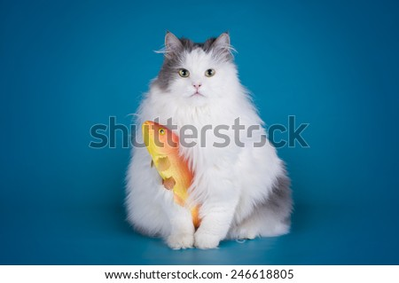 cat caught a goldfish isolated on a blue background - stock photo