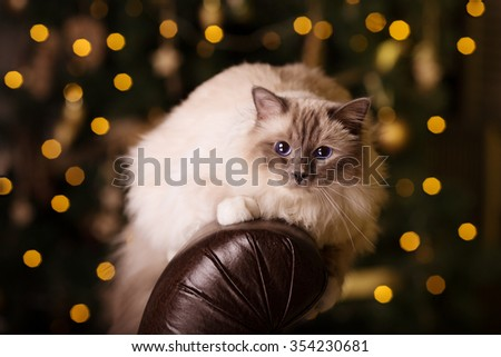 Cat. Christmas party, winter holidays cat with gift box. New year cat. christmas tree in interior background. - stock photo