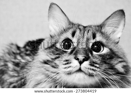 cat close up face portrait in black and white - stock photo