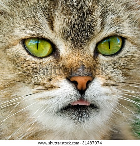Cat closeup portrait with one's tongue hanging out. - stock photo
