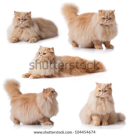 Cat collection isolated on white background.  persian cat