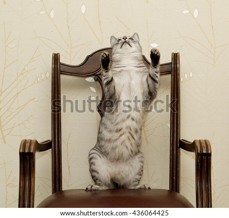 Cat dancing on a chair, funny photo of domestic cat on old style chair, playful cat  - stock photo