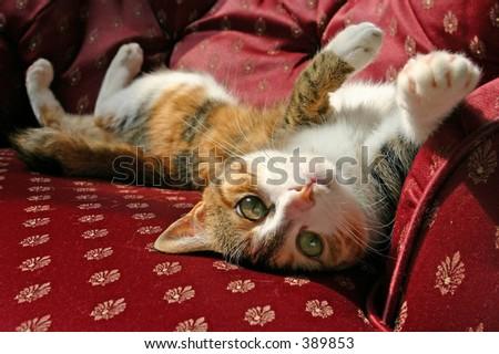 Cat (domestic) - stock photo