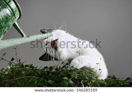 Cat drinking water - stock photo
