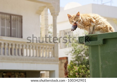 Cat eating fish from a garbage can. Looking up with fish in mouth. - stock photo