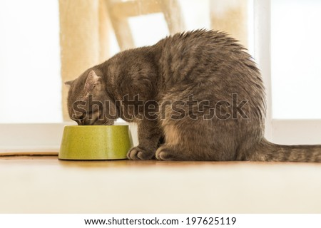 Cat eating water on the pet bowl  - stock photo