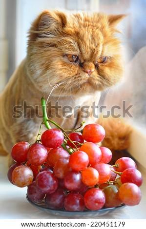 Cat eats grapes - stock photo