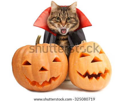 Cat evil with fangs in black red mantle with pumpkins. Funny cat celebrates Halloween - stock photo
