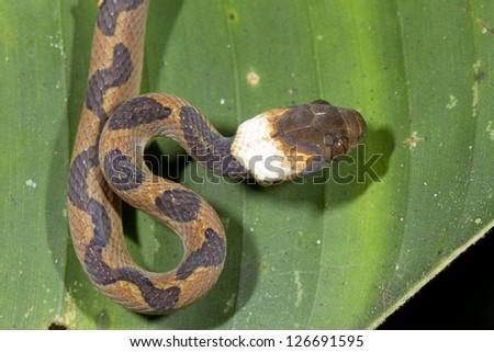 Cat-eyed Snake (Leptodeira annulata) in the Ecuadorian Amazon - stock photo