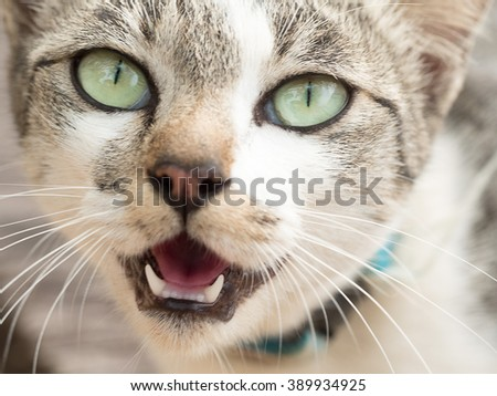 Cat eyes closeup. Angry hissing cat showing teeth. Cat face.