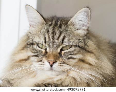 Cat face, brown siberian breed