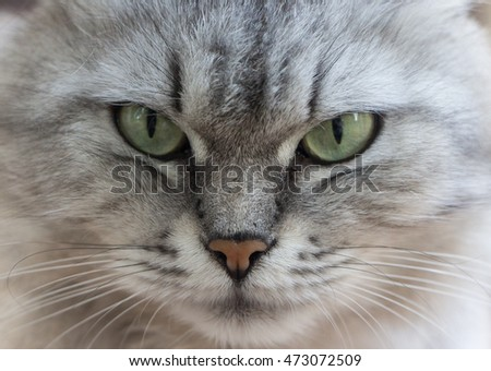 cat face close up