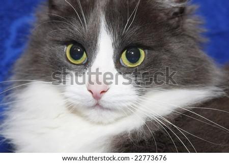 cat face closeup - stock photo