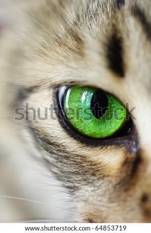 cat, green eyes - stock photo