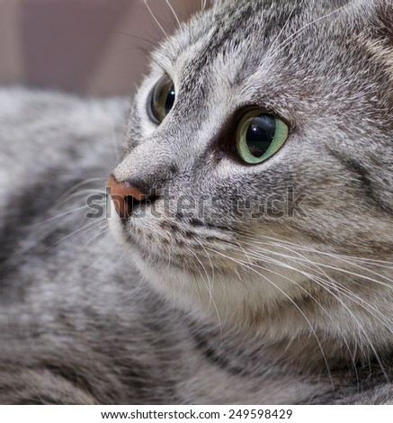 Cat head only close up, cat portrait, grey cat portrait, cat face, cat with green eyes, cat face close up - stock photo