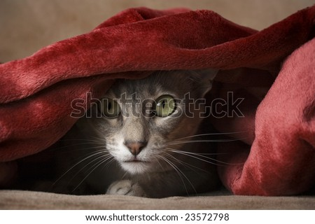 Cat hiding under blanket - stock photo