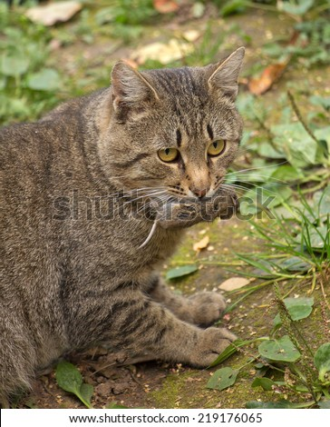 cat holding a dead mouse in mouth, hunting - stock photo
