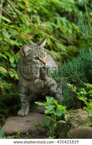 cat hunting for a bird prey, in the mouth, the victim - stock photo