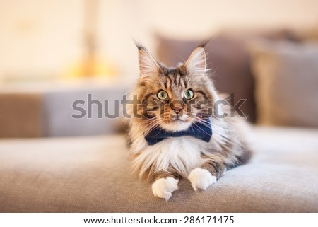 Cat in a bow tie sitting on a couch - stock photo