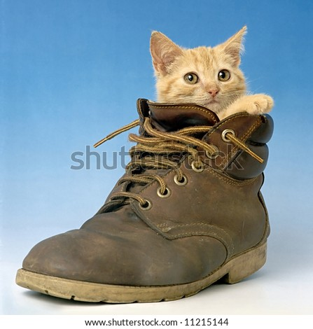 cat in shoe - stock photo