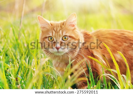 Cat in the Green Grass in Summer. Beautiful Red Cat with Yellow Eyes - stock photo