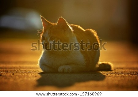 Cat in the sunset - stock photo