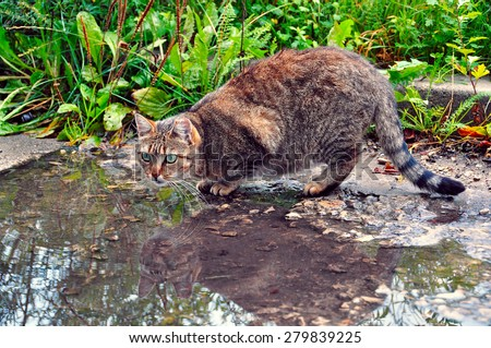Cat is drinking from a puddle water - stock photo