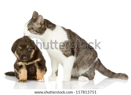 cat kisses a puppy. Isolated on a white background