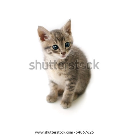 Cat , Kitten - stock photo