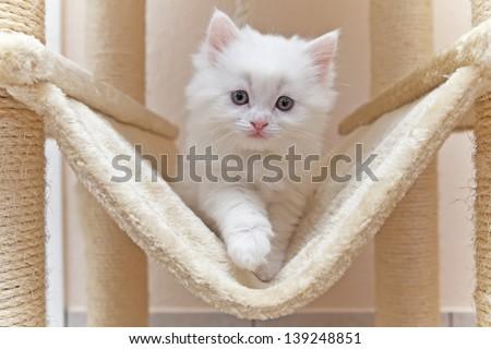 Cat, kitten, cat house, cat tree - stock photo