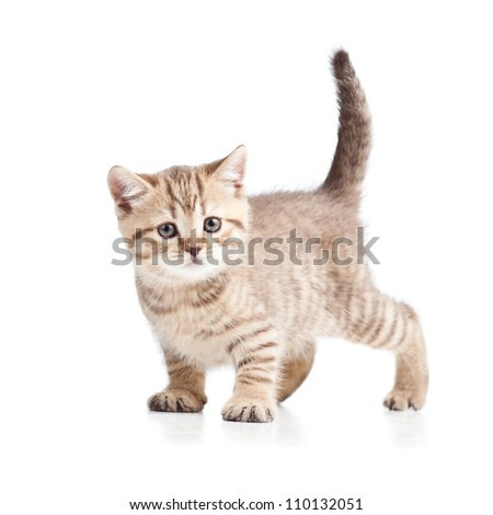 cat kitten on white background - stock photo