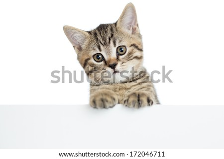 cat kitten peeking out of a blank banner, isolated on white background - stock photo