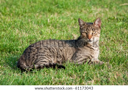 Cat laying in the grass on a lawn.